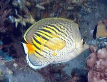 Dot Dash Butterfly Fish - Chaetodon pelewensis - Punctatofasciatus Spotbanded - Spot-Banded Butterflyfish