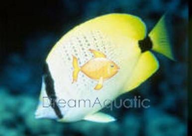 Lemon Butterfly Fish - Chaetodon miliaris - Milletseed Butterflyfish
