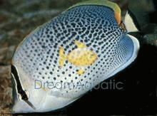 Pebble Butterfly Fish - Chaetodon guttatissimus - Pebble Butterflyfish - Many Banded Butterfly - Multi-Banded Butterfly