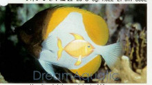 Pyramid Butterfly Fish - Hemitaurichthys polylepis - Pyramid Butterflyfish - Banded Butterfly - Yellow Zoster Butterfly