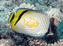 Vagabond Butterfly Fish - Chaetodon vagabundus - Indian Vagabond - Crisscross Butterflyfish