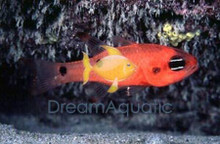 Flame Cardinal Fish - Apogon pseudomaculatus - Flame Fish - Cardinalfish