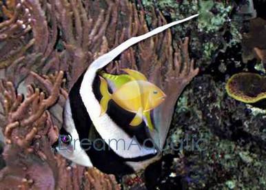 Black and White False Ocellaris Clown Fish - Amphiprion ocellaris - Black and White False Percula