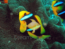 Brown Saddle Clown Fish - Amphiprion polymnus - Saddleback Clownfish