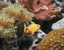 False Ocellaris Clown Fish - Amphiprion ocellaris - False Clown Anemonefish - False Percula Clownfish