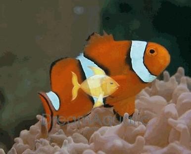 True Percula Clown Fish - Amphiprion percula - Clown Anemonefish - True Percula Clownfish