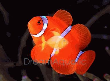 White Stripe Maroon Clown Fish - Premnas biaculeatus - Maroon Anemonefish - Spinecheek Anemonefish Clownfish