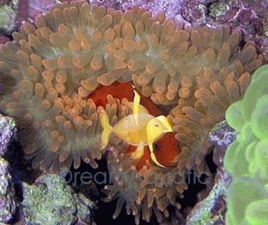 Yellow Stripe Maroon Clown Fish - Premnas biaculeatus - Maroon Anemonefish - Spinecheek Anemonefish - Maroon Gold Stripe Clownfish