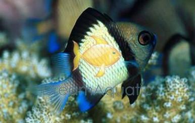 2-Stripe Damsel Fish - Dascyllus reticulatus - 2-Striped Humbug Damselfish