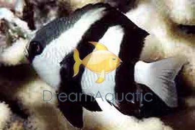 3-Stripe Damsel Fish - Dascyllus aruanus - 3-Striped Humbug Damselfish