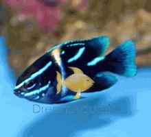 Blue Velvet Damsel Fish - Paraglyphidodon oxyodon - Neon Velvet Damselfish