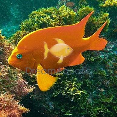 Garibaldi Damsel Fish - Hypsypops rubicunda - Garibaldi Damselfish