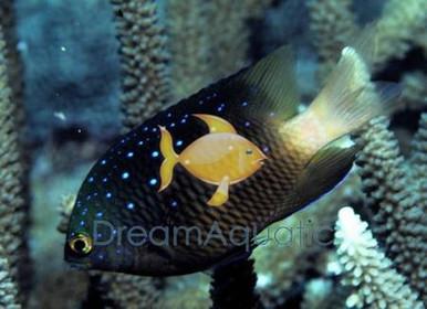 Jewel Damsel - Microspathodon chrysurus - Bluespot Damselfish