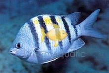 Sergeant Major Damsel Fish - Abudefduf saxatilis - Striped Sergeant Damselfish