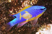 South Seas Devil Damsel Fish - Chrysiptera taupou - Blue Fiji Devil - Fiji Blue Devil Damselfish