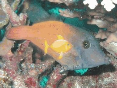 Redtail Filefish - Pervagor melanocephalus - Blackheaded File Fish - Red Tail File Fish