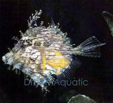 Tassle Filefish - Prickly Leatherjacket - Chaetodermis pencilligerus - Leafy File Fish
