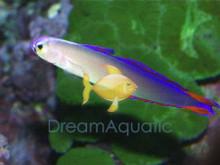 Purple Firefish Goby - Nemateleotris decora - Purple Dartfish - Decorated Darfish - Flame Firefish