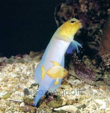 Yellowhead Caribbean Goby
