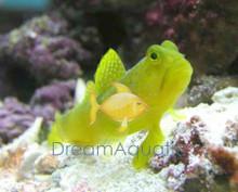 Yellow Watchman Goby - Cryptocentrus cinctus -Yellow Shrimp Goby - Watchman Gold