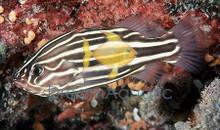 Golden Stripe Soapfish Grouper - Grammistes sexlineatus - Skunk Six Stripe Soap Fish