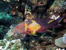 Lyretail Grouper - Variola louti - Yellow-Edged Lyretail Grouper Fish