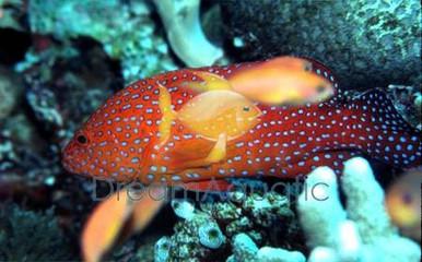 Miniatus Grouper - Cephalopholis miniata - Coral Hind Grouper Fish