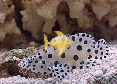 Panther Grouper - Cromileptes altivelis - Humpback Grouper Fish