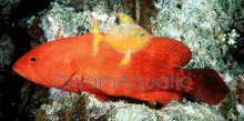V-Tail Grouper - Cephalopholis urodelus - Flagtail Grouper Fish
