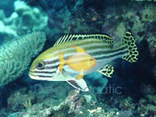 Dogfish Orientalis - Grunts Sweetlips - Plectorhinchus lineatus - Yellow-banded Sweet lips