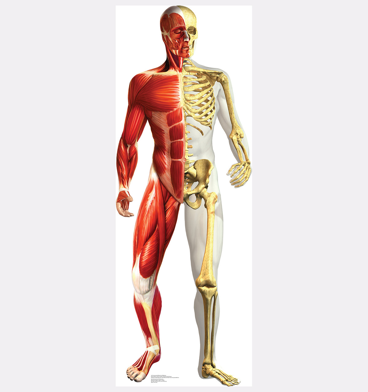 human being body structure