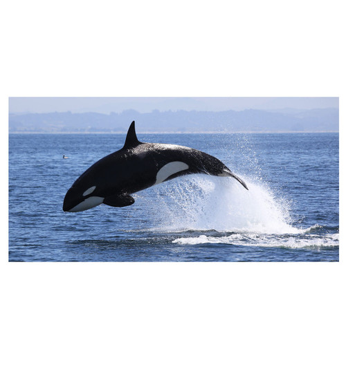 life size killer whale mural wall decal