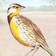 Western Meadowlark Facts, Information, and Photos