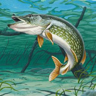 Northern Pike Information, Facts, Photos, and Fishing Tips