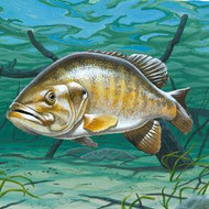 Smallmouth Bass Information, Facts, Photos, and Artwork
