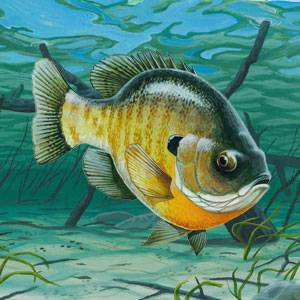 Bluegill Information Facts And Photos American Expedition