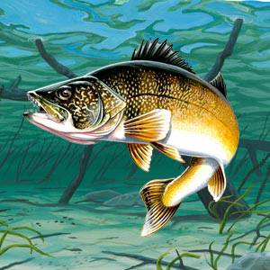 Walleye Facts Information Photos And Fishing Tips