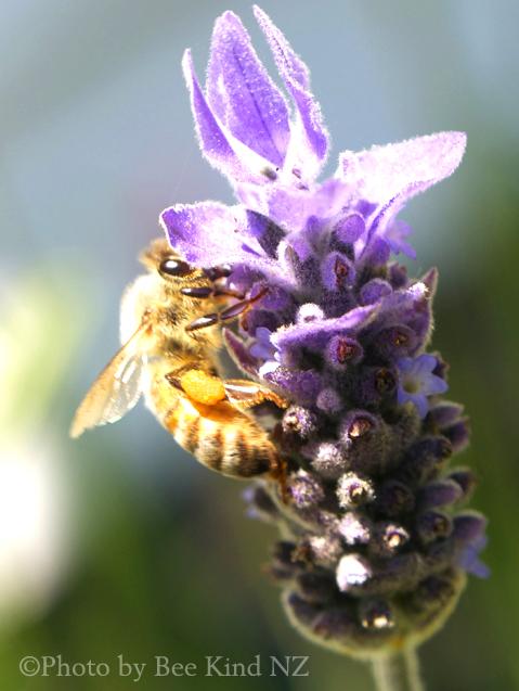 lavender-beekind.jpg
