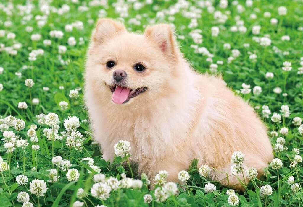 Epoch Jigsaw Puzzle 25-141 Pomeranian Dog with Clovers (300 Pieces)