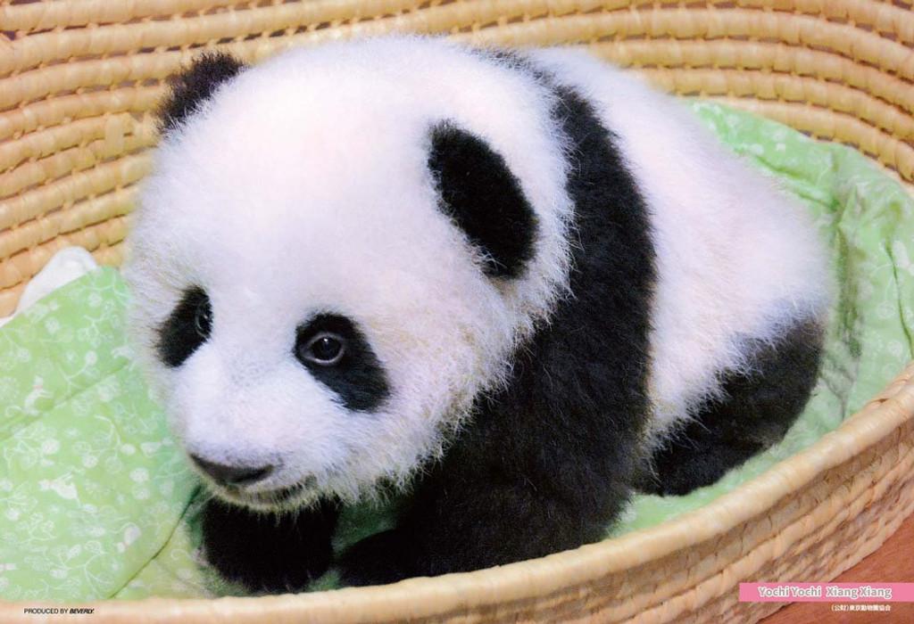 Beverly Jigsaw Puzzle P33-138 Panda Xiang Xiang (300 Pieces)