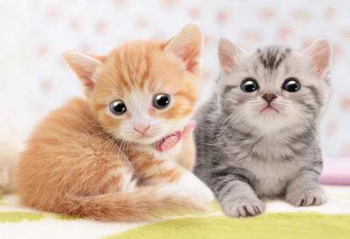 Apollo-sha Jigsaw Puzzle 48-647 Pet Cat Munchkin & American Shorthair (300 Pcs)