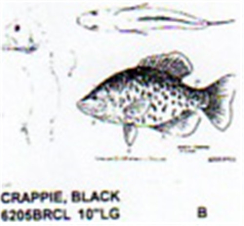 Black Crappie Mouth Closed 10 Quot Long Color Carving Pattern