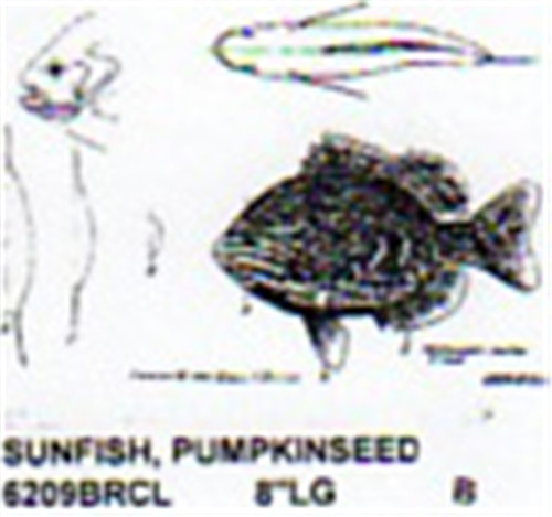 pumpkin seed sunfish mouth closed 8 long color
