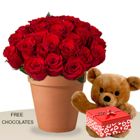 24 Red Roses In A Pot With Teddy And Free Chocolates