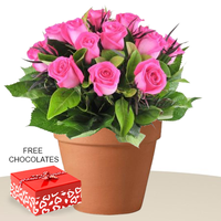 12 Pink Roses In A Pot With Free Chocolates