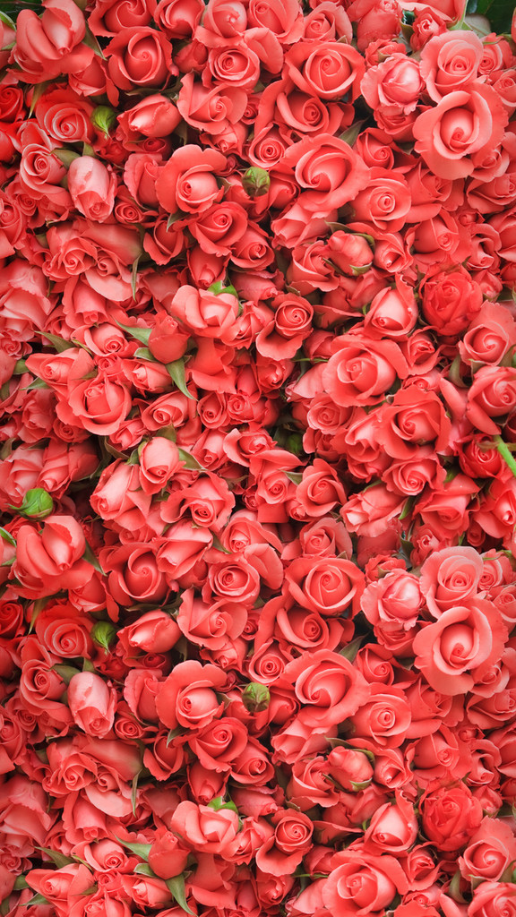 Pink Roses Backdrop