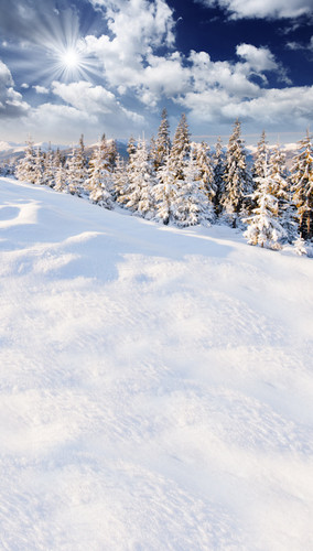 Snow Covered Pine Trees Backdrop