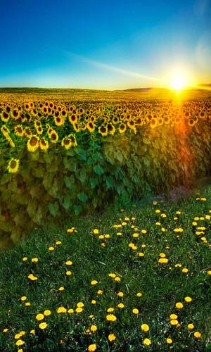 Sunflower Fields Backdrop