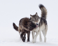 protecting-wolves.jpg