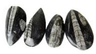 "Small Polished Orthoceras Fossils (1.50-2 .00"" range)"